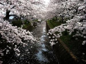 10日前の桜祭り会場