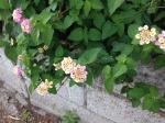 小さな紫陽花様の花をつける花