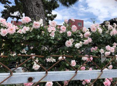 パイロット通りのバラ